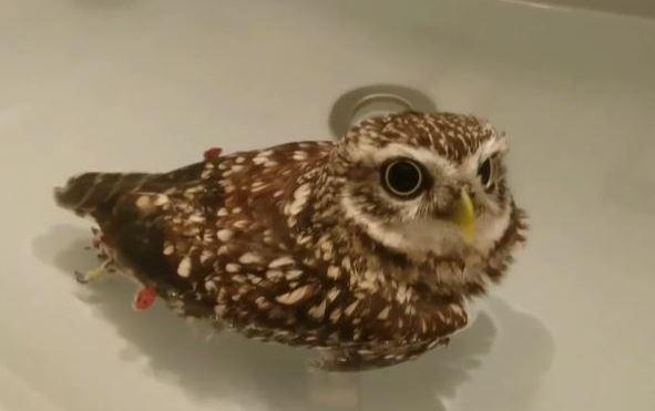 お風呂大好きフクロウちゃん。お水を抜かれても「おかわり!」と立ち上がる