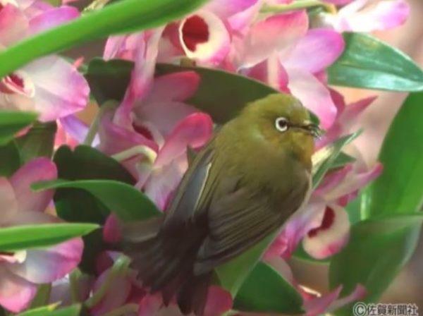 思わぬお客さんがご来店! 花の蜜を吸いにお花屋さんにやってきたメジロがとてもキュート