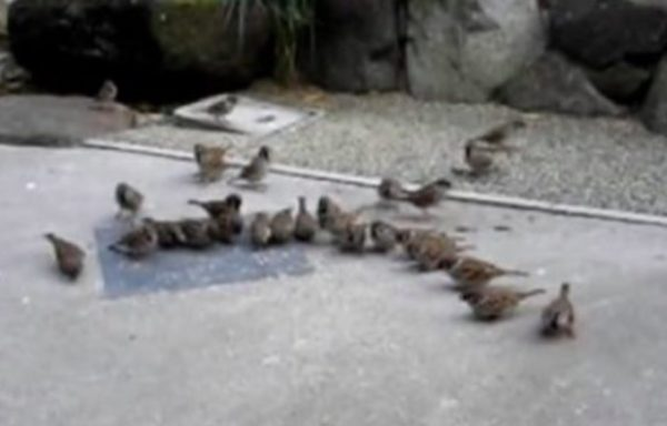 人懐っこい一羽のスズメにエサをあげてたら、庭にスズメが群れで来るようになった