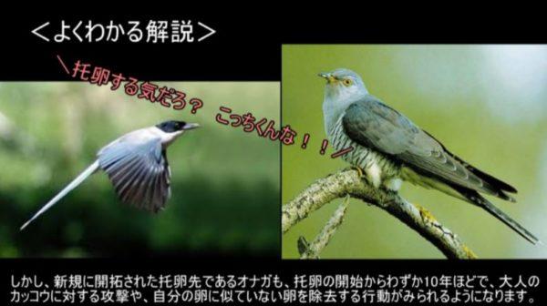 カッコウはなぜ托卵するの? カッコウに托卵された鳥が絶滅しないのはどうしてなの? 種の存続をかけた進化の戦いがすごい