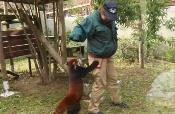 狂暴なかいじゅう(レッサーパンダ)に襲われる飼育員さん! 二本足でがお〜♪と追いかけられる