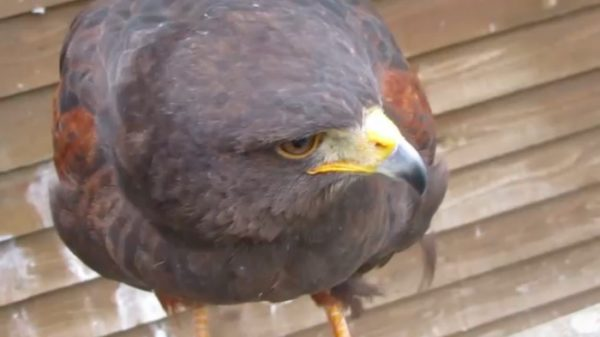 鋭い視線の鷹。他の鷹が肉をついばむ様子を睨みつけ、鳴き声で威嚇する「ピヨピヨッ!」えっ!? 鳴き声だけ妙に可愛くない?