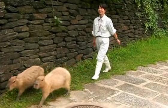 """大変だ! 動物園のカピバラが脱走。緊急事態かと思いきや、どう見ても""""お散歩""""にしか見えない件「もうこれ放牧じゃん」"""