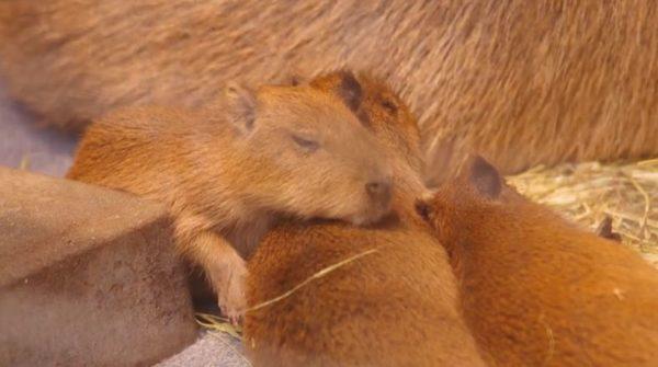 「スヤァ…」折り重なって眠るカピバラの赤ちゃん。起きたと思ったら兄弟の隙間に入って、またスヤァ…