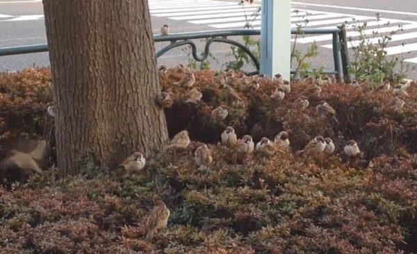 かわいいスズメたちが道端の茂みからこんにちは。コロコロ・もふもふのスズメの群れに「天国!」「飛び込みたい」の声