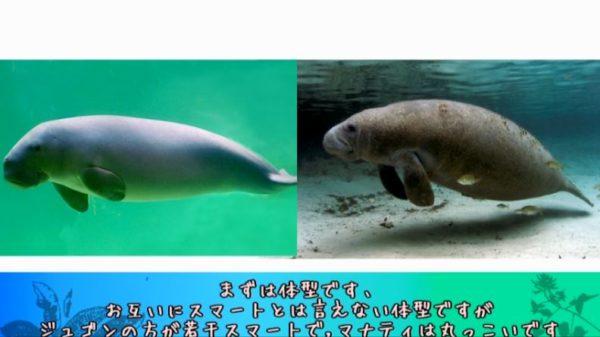 どっちがジュゴンでどっちがマナティ? 人魚のモデルになったと言われる海の生き物はどっちも可愛かった!