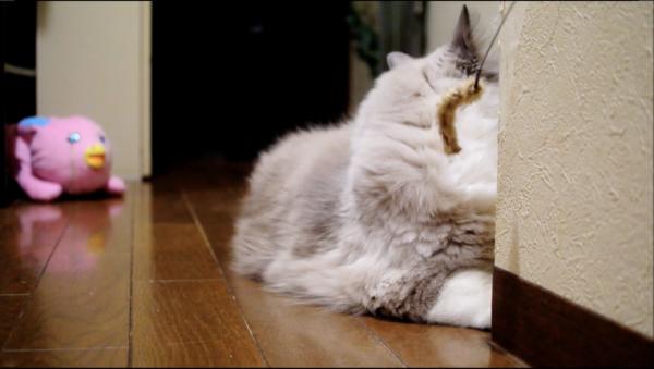 頭隠して尻隠さ……モッフモフやないかい! 上手に隠れたつもりの猫、飼い主に背後を取られお尻を撮られる
