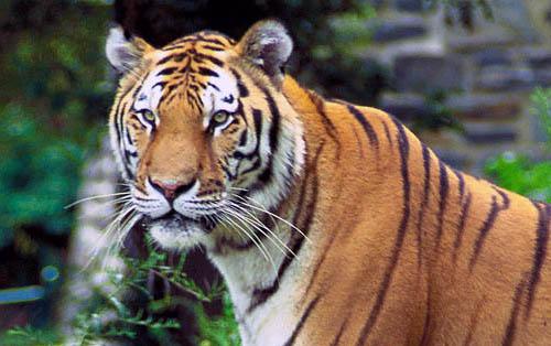 """436人を食い殺したトラが軍隊に追われても""""人食い""""を続けた理由――ギネス記録にもなった『チャンパーワットの人食いトラ』事件を解説"""