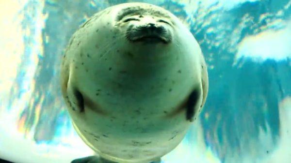 微笑みのアザラシ「海遊館」アラレちゃんの笑顔に「なんて可愛いんだ」「まじで仏様みたい」と癒される人続出!
