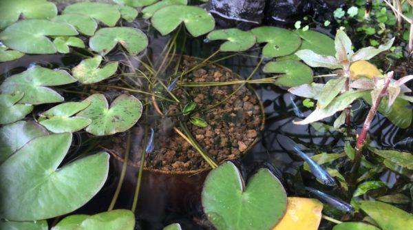 水面に浮かぶ睡蓮の花、気持ちよさそうに泳ぐメダカたち…ベランダビオトープの半年間の記録に癒やされよう!