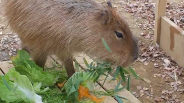 パンダじゃないけど笹が好き! カピバラさんが白菜よりも人参よりも、笹をめがけてまっしぐら!