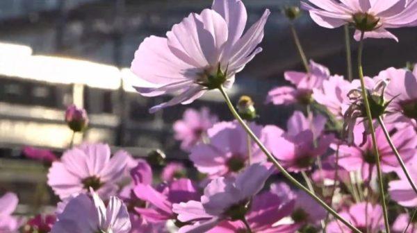 """咲き乱れるコスモスと「JR京都線」の美しい景観。走り抜ける""""貨物列車の風を感じる映像""""が癒し効果バツグンすぎる"""