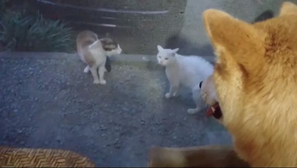 """【発見】犬にも野次馬精神はあった!? 猫の喧嘩を""""高みの見物""""していた柴犬さん、ガン見されてビビってしまう"""