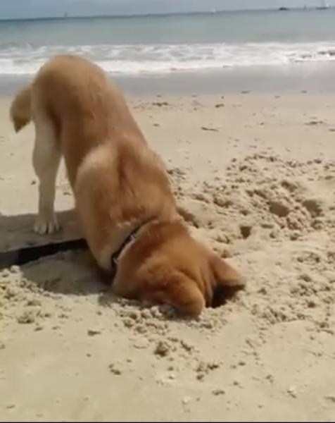 """ブラジルのみなさーん! """"砂浜掘り""""に取り憑かれてしまった柴犬…ものすごい勢いで掘り進め、地球の反対側とのコンタクトを試みる(?)"""
