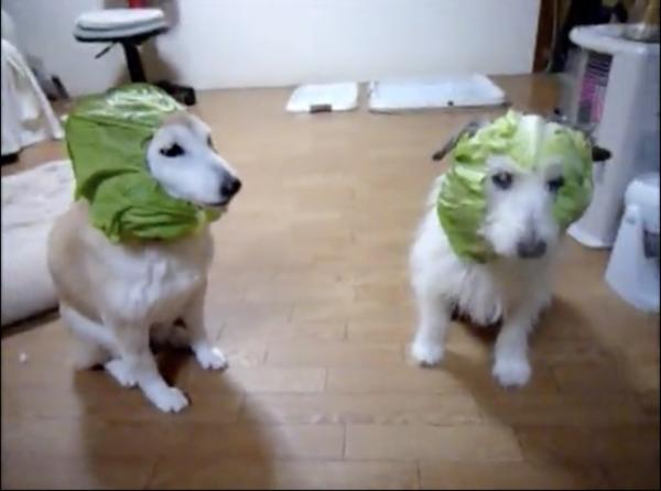 """2匹の犬、""""キャベツマスク""""でキメていると思いきや…突然マスクを喰らい尽くす!? 行動のすべてがシュールでジワリティが高すぎる件"""