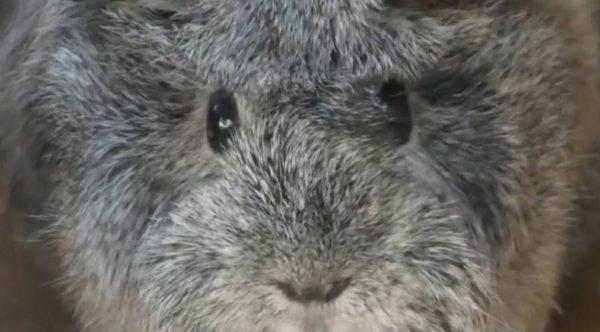 """なんて目してやがる…もふもふのモルモットの熱い視線にキュン死? かわいすぎる""""にらめっこ""""動画に「鼻セレブ」の声"""
