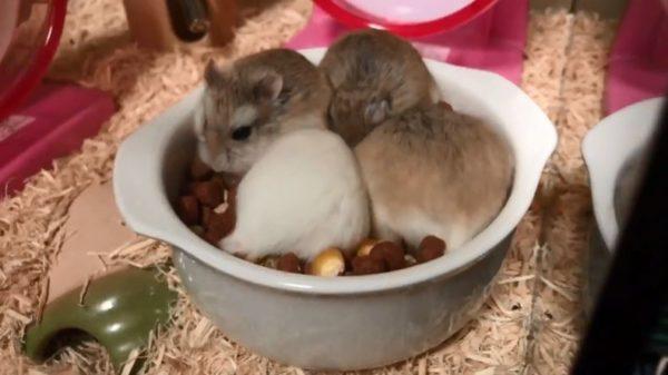 めっちゃグツグツしてる!? グラタン皿に集まりもぐもぐエサを食べるハムスターたちに「煮えてますねぇ」「具が逃げたw」