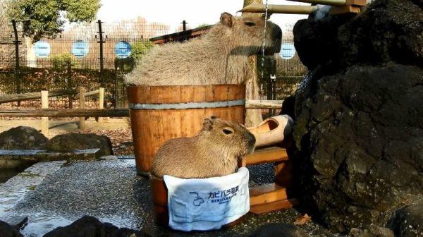 """「あぁ~いいお湯だねぇ」お風呂でくつろぐカピバラたち。親子で""""桶カピ""""姿もご披露"""