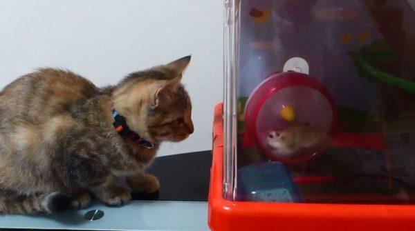 もしかしておちょくってる…? 猫に狙われても全く動じないハムスターに「何これシュールw」「トムとジェリーw」