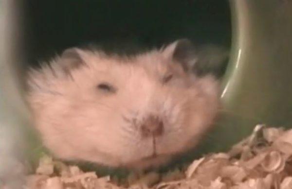 この至福の寝顔を見てほしい。アゴを乗せ、鼻をピクつかせて眠るハムスターの姿が愛おしい……!