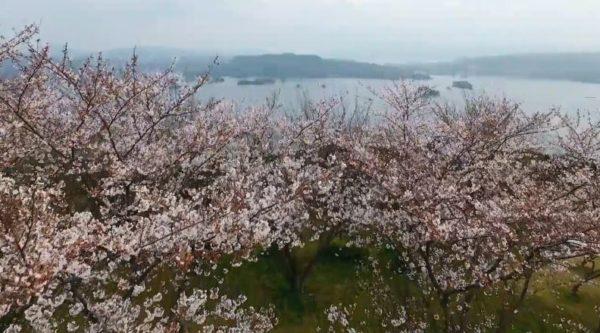 """空から日本を見てみよう!? 美しい佐賀の桜の""""空撮動画""""に「周囲の景色も見事」「浄化されてしまう」と称賛の声"""