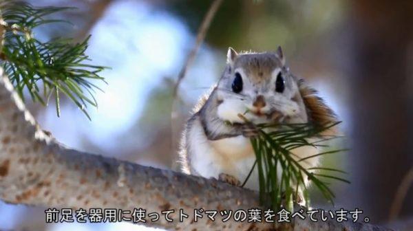 トドマツの葉を食べるエゾモモンガ。ふわふわで真ん丸な姿に「なごむわ~」「ぽよんぽよんで草」