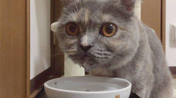 すさまじい勢いで水をがぶ飲みする猫ちゃんが「めっちゃジョブジョブいってる」「ほんといい音」と話題に