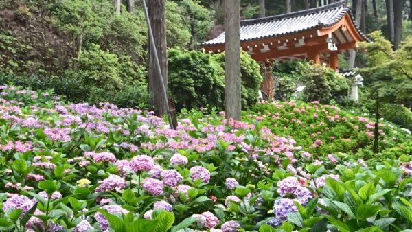 「あじさい寺」として名高い京都・三室戸寺へ行ってみた。50種1万本のアジサイが咲き乱れるさまが、絵巻物のように美しい!