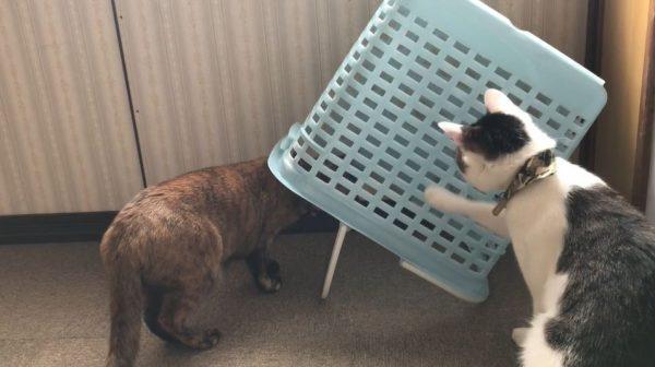 """なんて猫の本能を突いてるんだ…! カゴが好きすぎて""""自ら""""罠にハマりにいく猫の様子をご覧ください"""