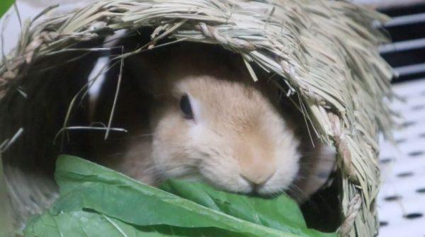 こっそり食べてるキミも好き♡ 隠れてモシャモシャするウサギの食事風景に「うまそうに食うなw」「愛くるしい」の声