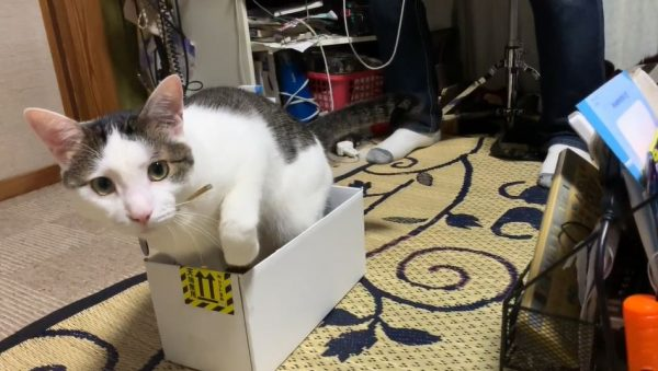 「ジロジロ見るニャ~!」大好きなダンボール箱に入ろうとした猫、注目されているのに気づいて激しくうろたえる