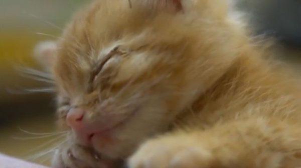"""たくさんしゃべって""""電池切れ""""した子猫ちゃん。おしゃべり茶トラの寝顔に「あ~癒される」「一日の疲れが吹き飛ぶ」の声"""