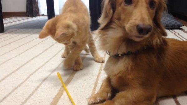 """犬と子猫で""""1つのオモチャ""""をシェア! ノリノリでねこじゃらしに飛びつく子猫の動きに犬がドッキドキ"""