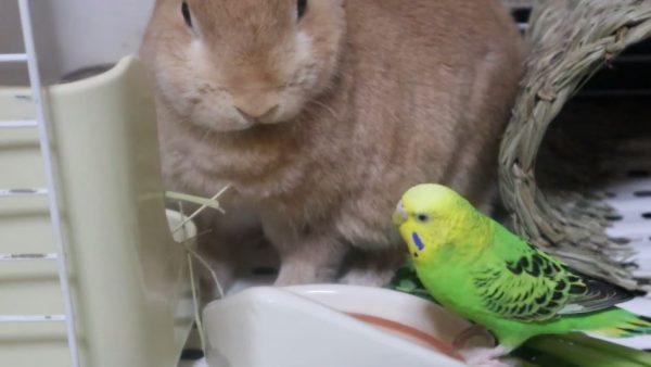 「なになに? なにが起こったの?」インコに抗議されたウサギ、口をモグモグさせながらも理解を示す