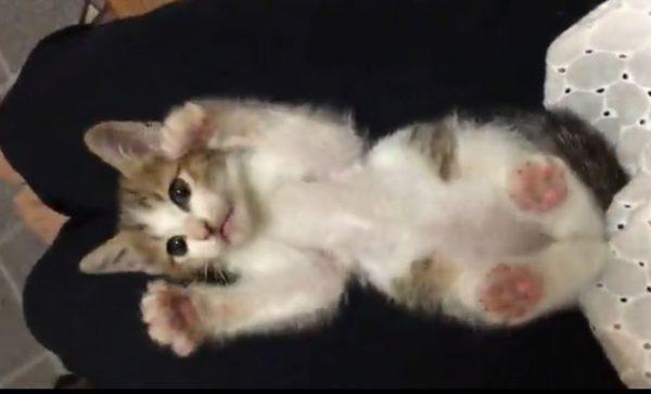"""「こちょこちょ…ぱっ!」飼い主のくすぐりで子猫が見せる""""バンザイ""""ポーズに「癒されるw」「かわいいなあぁ!」と悶絶するネット民多数"""