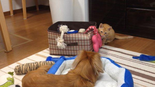 絶対に遊びたい子猫vs引き気味の犬。睨み合い→歩み寄りの瞬間に「こんな日常が幸せ」の声
