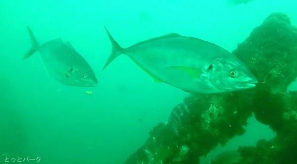 高級魚シマアジの群れを探してみた! 大阪の海釣り公園の水中カメラ映像に「デカイな」「諭吉が泳いでる」の声
