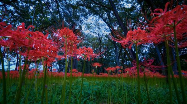 """500万本の花が織りなす""""赤の絨毯""""! 埼玉県日高市の「巾着田曼珠沙華公園」に広がる景色は美しくも幻想的だった"""