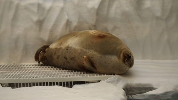 ワモンアザラシのアラレちゃん、かわいすぎ。世界最大級の水族館「海遊館」に住まうニコニコした丸っこい海獣に「幸せそう」「抱き枕にしたい」の声