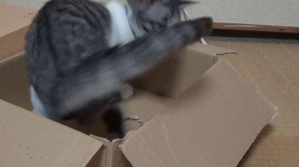 ダンボール箱の中でシッポを追いかける子猫。くるくると回り続ける姿に「やるやるw」「永久機関」の声