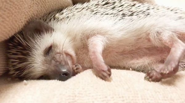 """ハリネズミの寝顔、こんなに可愛いのかよ! 目が覚めると怒りの""""イガ栗形態""""に変化するも「これでもかわいい」の声"""
