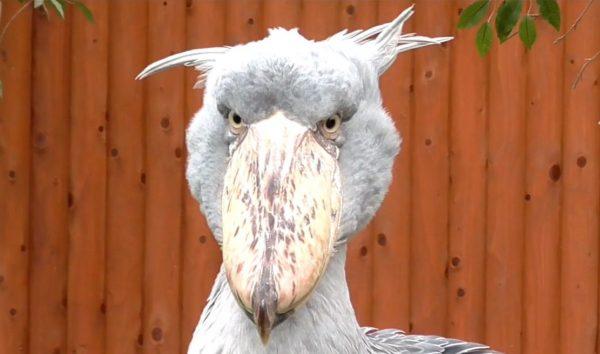"""""""寝ぐせ頭""""なハシビロコウと""""カーリーヘアー""""のエミュー… インパクト強すぎコンビかよ…。静岡県にある「掛川花鳥園」で最高の鳥さんたちに会ってきた"""