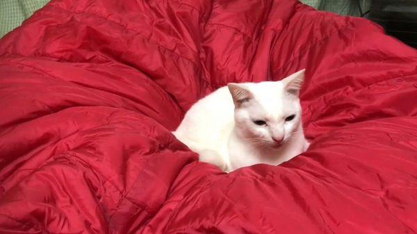 """""""猫がダメになる""""素材を発見⁉ 次々と猫たちがくつろぎだす寝袋に「逆日の丸弁当」「ねこぶくろやん」の声"""