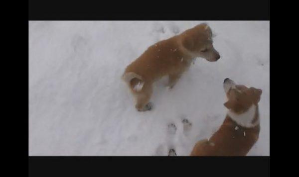 """""""初めての雪""""にはしゃぐ子犬たち…足跡だらけとなった庭に「まさに犬は喜び庭駆け回り、だな」の声"""