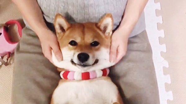 柴犬のモッチモチのほっぺをマッサージ…にっこり笑顔のももちゃんに「いいコだね~」「可愛すぎる」の声