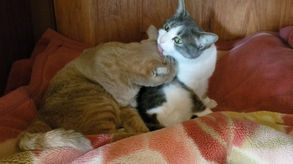 """押入れの中でイチャつく猫カップル…互いを毛づくろいする""""リア獣""""に「舐めたマネしやがって」「お幸せに」の声"""
