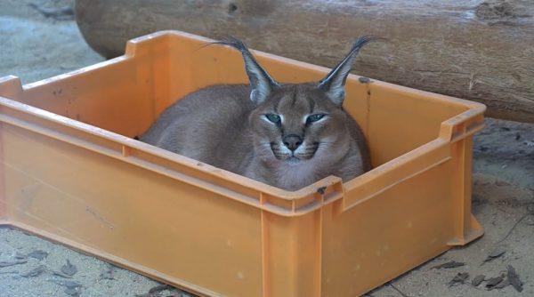 """猫の日に""""耳が特徴的""""なネコ科もいかが? 箱が大好き、爪とぎ、毛づくろい…人懐っこいカラカルの行動に「動作が猫だ」「猫なんじゃ」の声"""