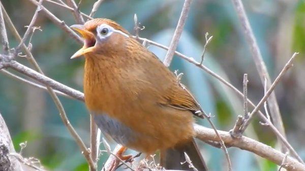 """ヤバい鳴き声の野鳥がいた…あまりに""""多彩なさえずり""""で「サイレン?」「昔のゲーセン」「いい声じゃん」とバラバラの感想が寄せられる"""