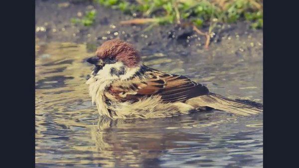 木の上から見守るカワセミにスズメの水浴び…水辺で思い思いにくつろぐ野鳥たちをご覧あれ!