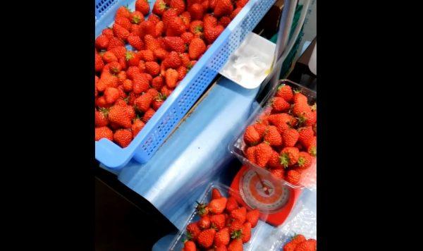 イチゴ農家はイチゴ食べ放題…という訳ではないが、市場に出回らないめちゃくちゃ甘い「発酵果」というものが食べられる!